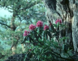 Purple Laurel, Rhododendron catawbiense