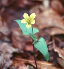 Spear-Leaved Yellow Violet - Viola hastata